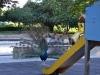 павлин на детской площадке в Лионе