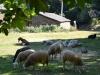 Камино Сантьяго Галисия овцы